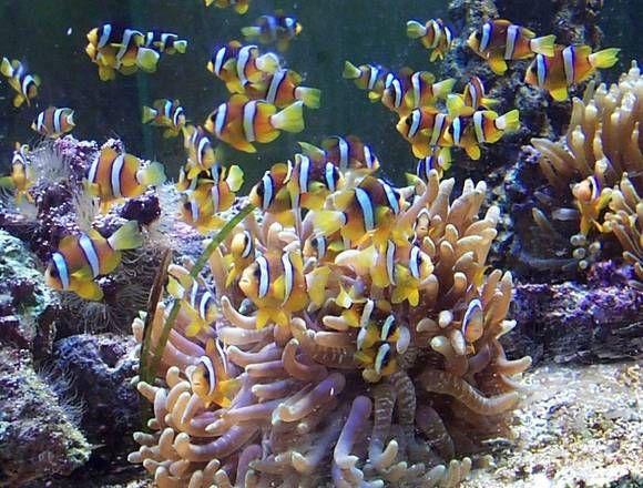 anemone di mare in acquario - Cerca con Google