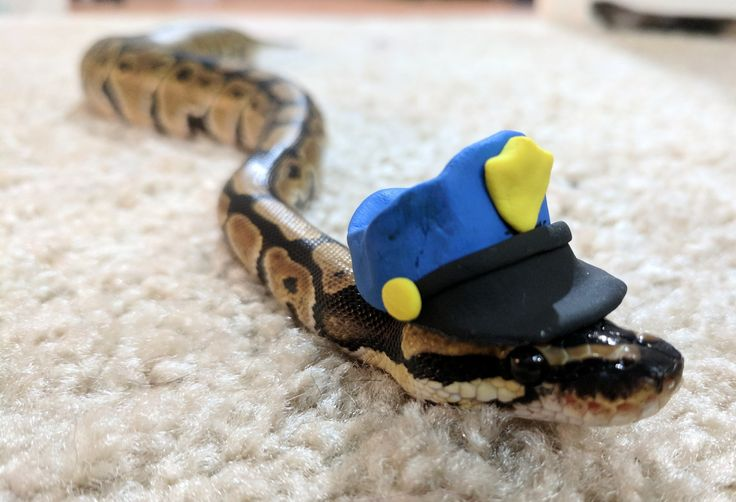38 best My ball python. Boop Noodle images on Pinterest ... Cute Ball Python With Hat