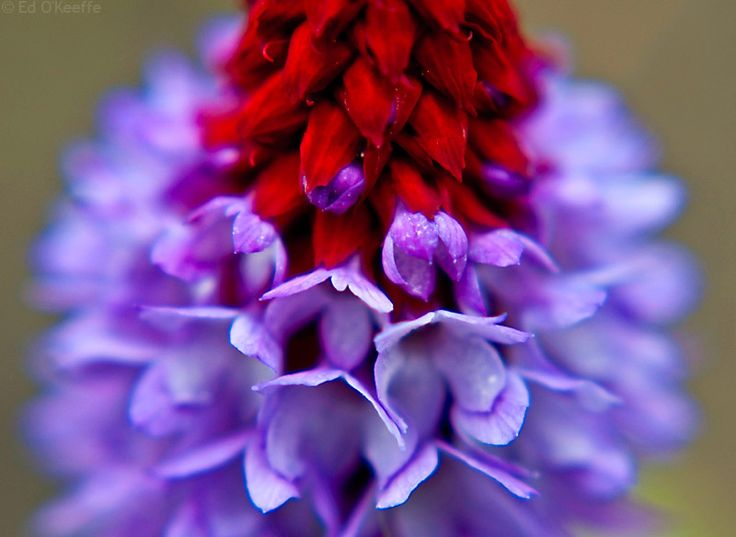 Purple Red Flower Closeup