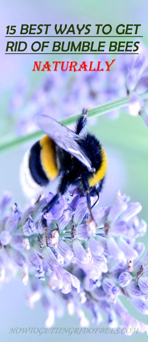 15 Natural Ways To Get Rid Of Bumble Bees Bees And Wasps Bee Getting Rid Of Bees