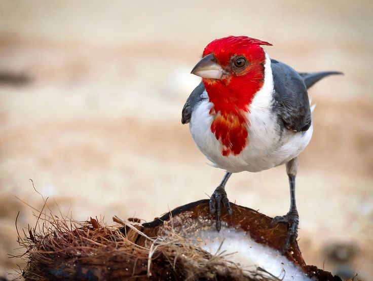 Red-crested Cardinal | Flickr - Photo Sharing!