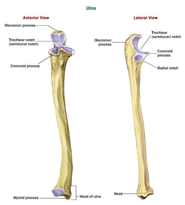 the 25+ best ulna bone ideas on pinterest | radius bone, hand bone, Human Body