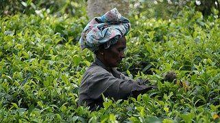 Sri Lanka, Tea Harvest, Tea Plantation