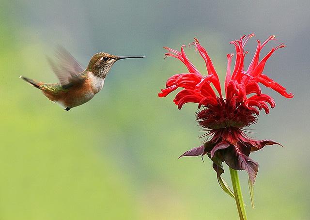 Bee Balm...hummingbirds love them!
