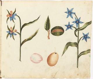 a flower study Adolf Fredrik Clásen 1757