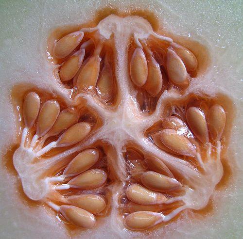 Melon seeds   Flickr - Photo Sharing!