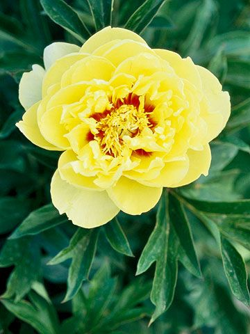 Bartzella  A newer peony from the 1980s, 'Bartzella' offers rich, golden-yellow blooms.  Name: Paeonia 'Bartzella'  Bloom Time: Midseason  Growing Conditions: Full sun and well-drained soil  Size: To 40 inches tall  Zones:3-7  Native to North America: No  Why We Love It: Golden-yellow peonies are as rare as they are beautiful.