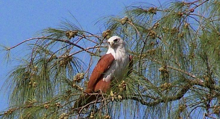 Eagle at Sunderbans National Park