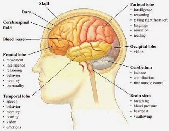 Multiple Sclerosis Lesions can present themselves in certain areas of the brain. Where these lesion are may indicate where your disability show up in your body! Anatomy and functional areas of the brain Multiple Sclerosis Awareness ♥ #MSEducation #teachmems #msmam #brainlobes