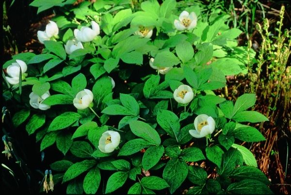 Peony for sale buy Paeonia japonica