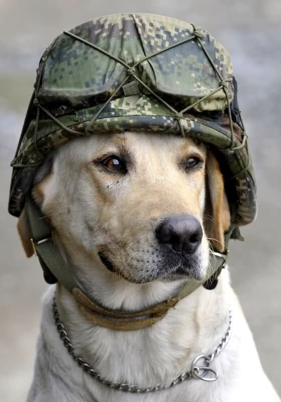 Fantastic Soldier Army Adorable Dog - ca184d59dabd2c2ff0bbc4af0d533e7d--military-dogs-police-dogs  Pictures_46767  .jpg