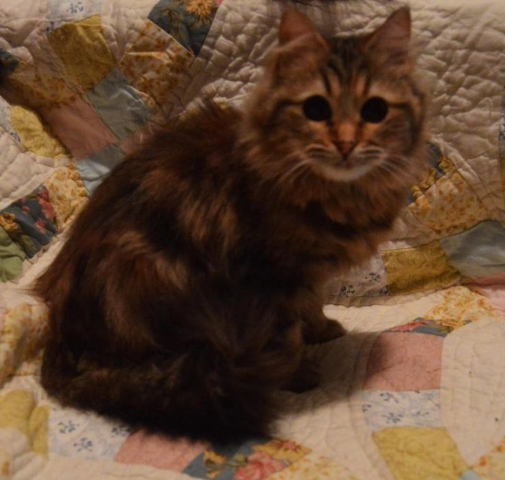 Secily is an adoptable Maine Coon searching for a forever family near Warsaw, NY. Use Petfinder to find adoptable pets in your area.