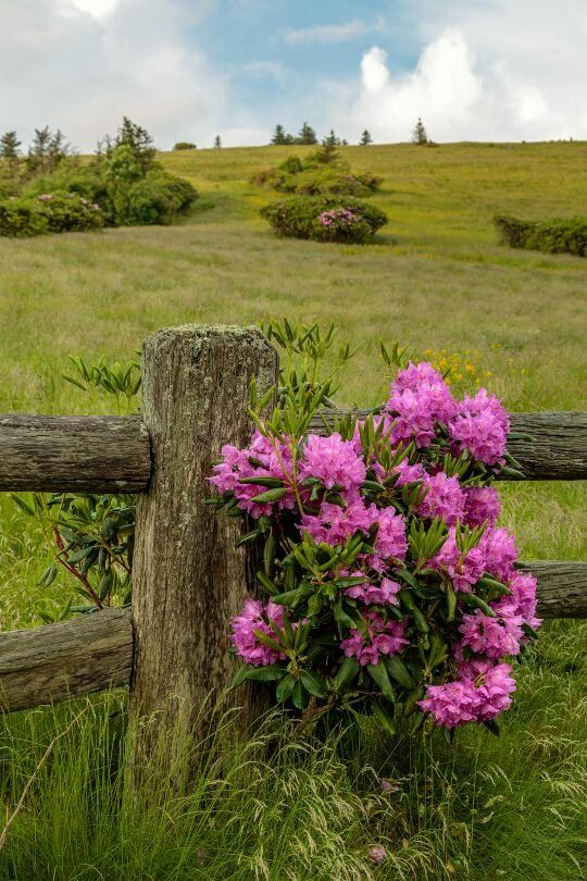 The old rhododendron bush....
