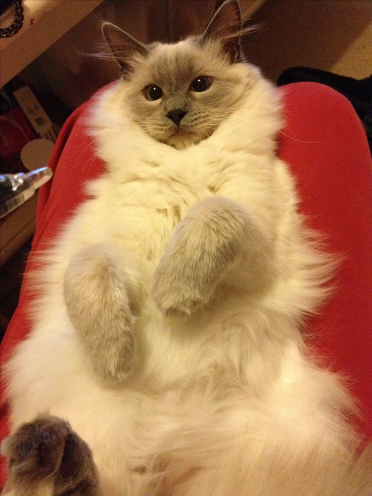 """Louis, ragdoll cat (=^.^=) Thanks, Pinterest Pinners, for stopping by, viewing, re-pinning, & following my boards.  Have a beautiful day! ^..^ and """"Feel free to share on Pinterest ^..^   #catsandme #cats"""