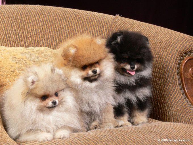 Pom Puppies.