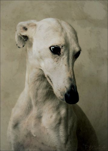 thegiftsoflifelessordinary:  by Petra Postma of her rescued sighthound Cara. Cara is one of the 40,000 galgos that the Spanish hunters disca...