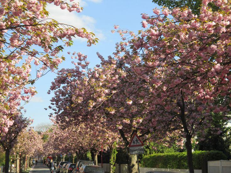 Kirschblüte in Marburg