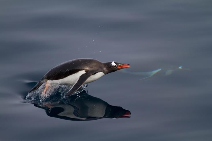 """Gentoo penguin """"flying"""" underwater"""