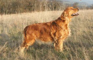 Zlatý retrívr - Plemena psů, psí plemena - Zlatý retrívr