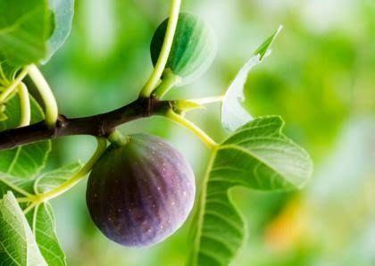 Probablemente no muchas personas sepan que el higo es un alimento muy saludable; sin embargo, no solo su fruta es deliciosa y posee diversas propiedades medicinales, sino que sus hojas también resultan muy valiosas para nuestro organismo. He aquí una lista de los principales beneficios del higo y sus ho
