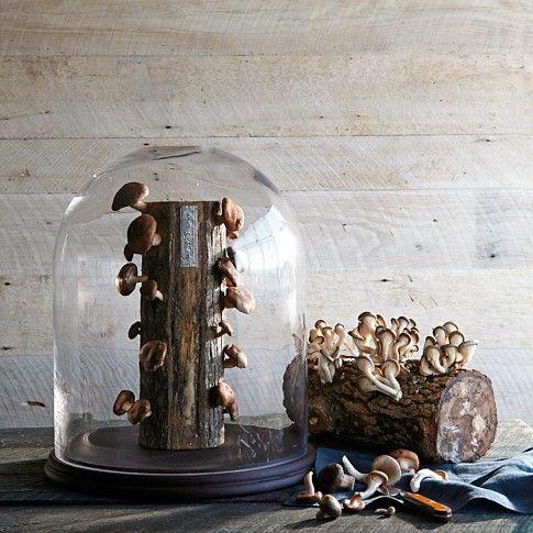 Oyster Mushroom Log grow your own mushroom kit.