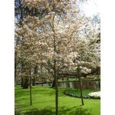 Amelanchier lamarckii uitermate geschikt voor kleine tuin. krentenboom. spectaculaire herfstkleur in gele en rode tinten. bloeit in voorjaaruitbundig en krijgt eetbare bessen, waar veel vogels opaf komen. doet het op de meeste grondsoorten. (andere soorten krijgen minder bessen!)