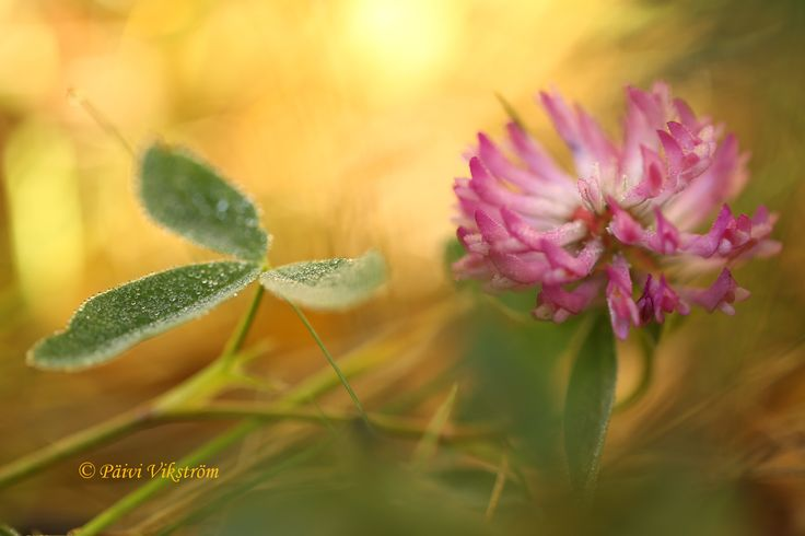 Red Clover in Autumn by Päivi Vikström on 500px