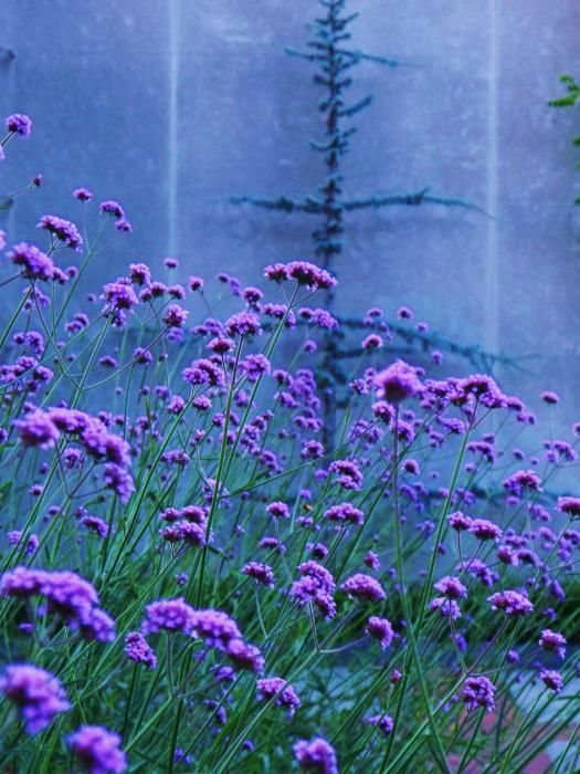 Verbena bonarienses--this reseeds itself, gardening, landscaping