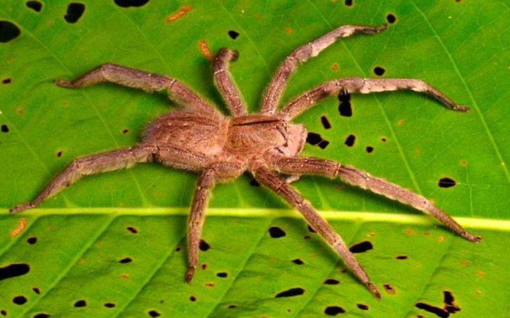 Arañas errantes brasileñas, araña más venenosa del mundo