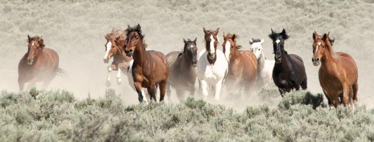 Risultati immagini per cavalli mustang