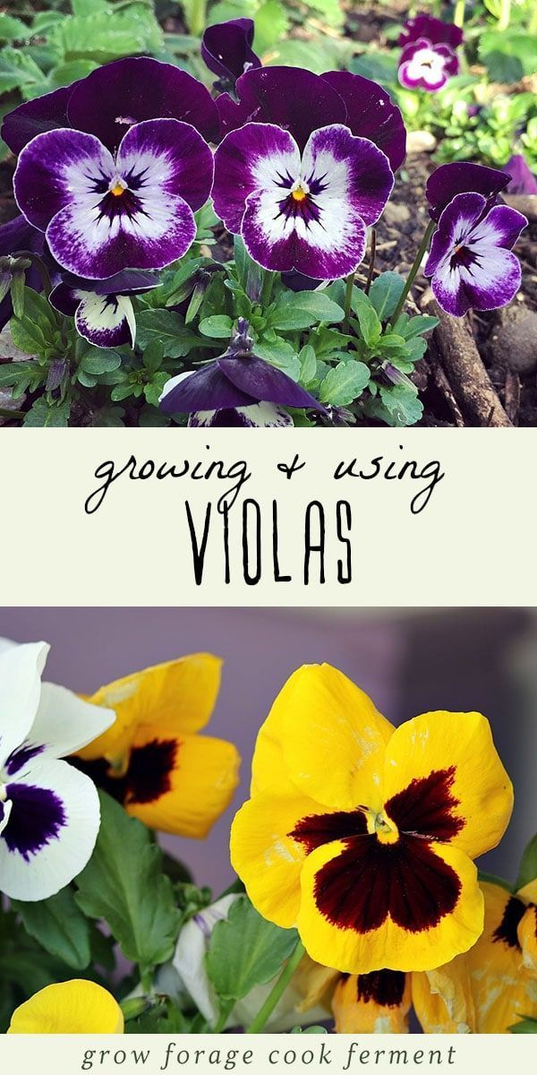 How To Grow And Use Violas In 2020 Pansies Raised Garden Designs Violas