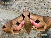 Thumbnail picture of the Achemon Sphinx Moth. Utah Moths & Butterflies.