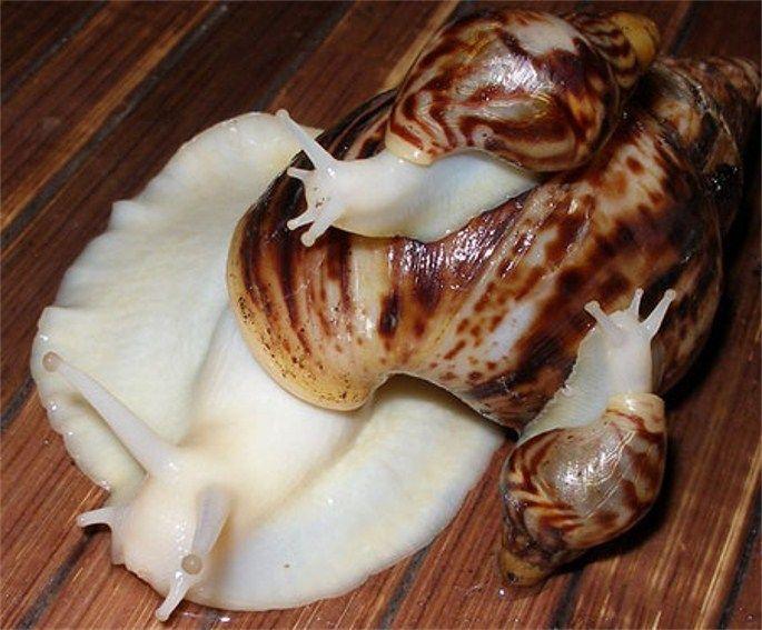 Ca Ccf C Dcec Cad E C Giant African Land Snails Melanism on S Slug Types