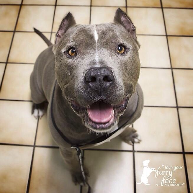 american bully with natural ears