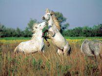 Camarquês  Este cavalo é de origem francesa e o seu nome foi-lhe recebido da região onde principalmente habita. Esta é a zona de La Camargue e encontra-se localizada no sul da França.    Acredita-se que a origem desta raça é bastante remota e são relacionados aos cavalos que aparecem em várias pinturas rupestres antigas.    Pode dizer-se que atualmente estes cavalos convivem em grupos, mas também são treinados para trabalhar junto do gado ou como atração turística......