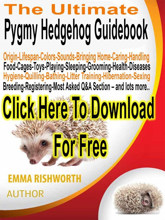 Pygmy Hedgehog For Sale | UK Hobby Breeder