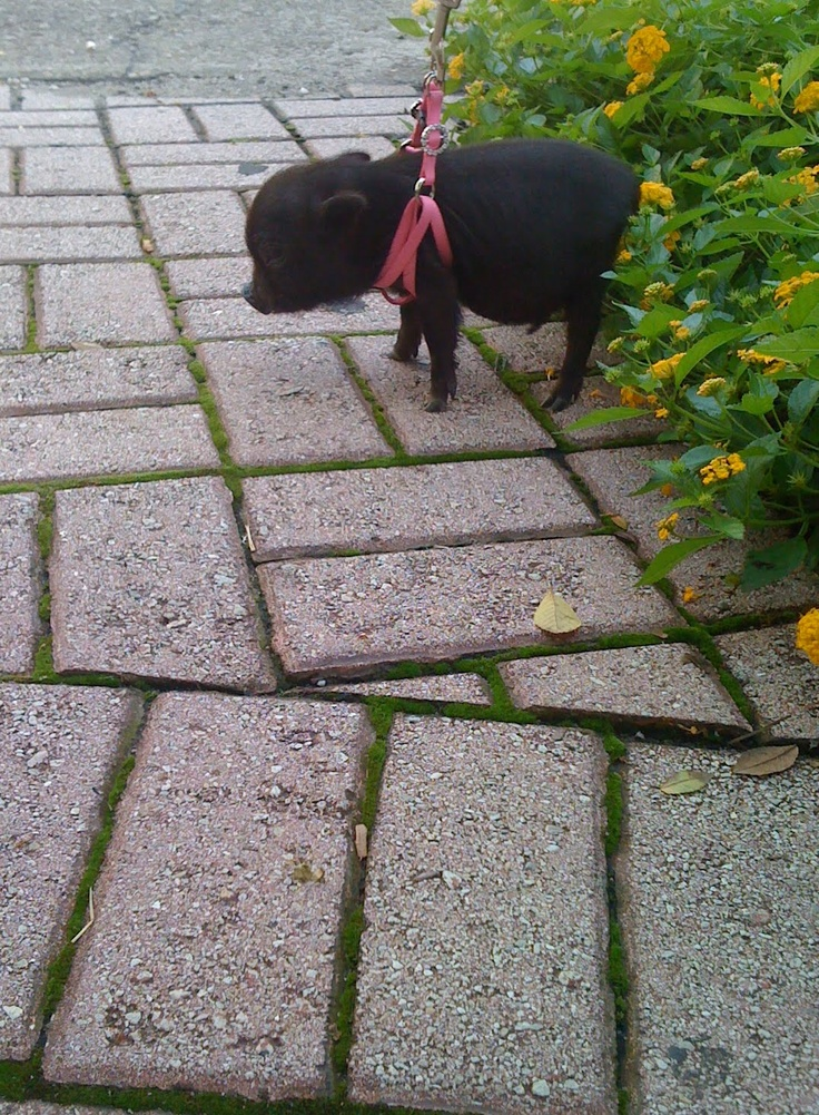 Teacup Potbelly Pig. I'm determined to have one. And I'm serious.