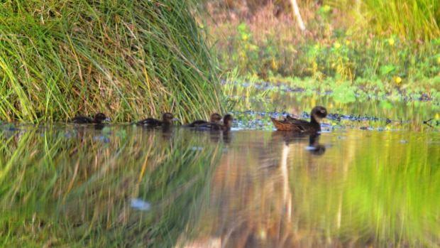 Pateke moeder en eendjes tonen de vrijlating van de bedreigde inheemse soorten als onderdeel van Waitakere Forest & Bird ...