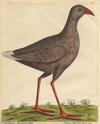 After Eleazar Albin - 1735 Acquaforte, L'Uccello Viola