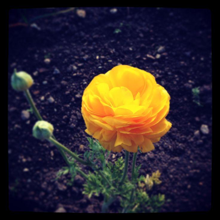 Cute yellow flower at Hamilton Gardens~ Hamilton~ New Zealand