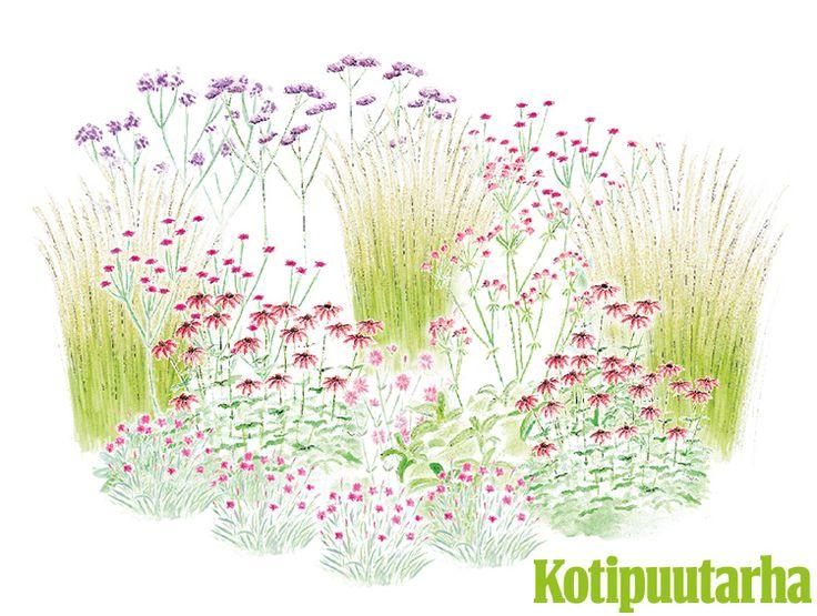 PUNAISEN JA VIOLETIN SÄVYJÄ. Klassisessa cottage-tarhassa suositaan isoja määriä harmonisia lähisävyjä. Ripaus vastaväriä keskemmällä istutusta saa päävärin sävyt hehkumaan entisestään. Istutuksen kasvit: Koristekastikka (Calamagrostis x acutiflora), vuorineilikka (Dianthus gratianopolitanus), kaunopunahattu (Echinacea purpurea), lehtoakileija (Aquilegia vulgaris), isotähtiputki (Astrantia major), isotähtiputki (Astrantia major), yksivuotinen jättiverbena (Verbena bonariensis).