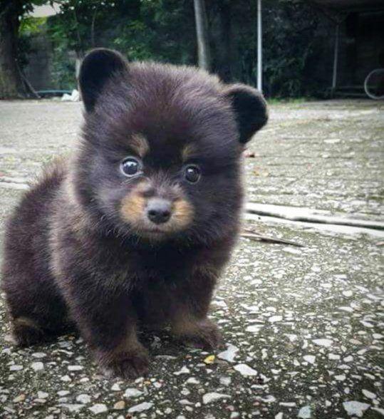 Ilmeesi kun et tiedä oletko nalle vai koiranpentu   #cute #cuteness #cutenessgoingviral