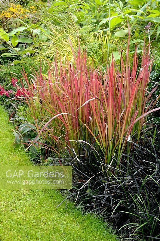Grass summer border with Imperata cylindrica 'Red Baron' syn. 'Rubra' (Blood Grass) and Ophiopogon planiscapus 'Nigrescens' (Black Mondo Grass or Lilyturf)