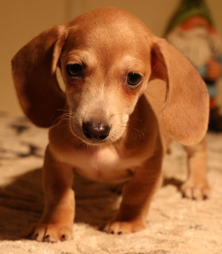 Dachshund Puppies Colorado For Sale