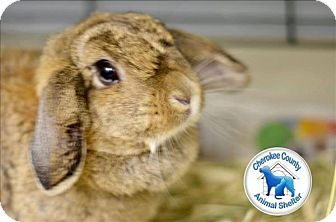 Canton, GA - Lop-Eared Mix. Meet Dolly, a pet for adoption. http://www.adoptapet.com/pet/18499798-canton-georgia-rabbit