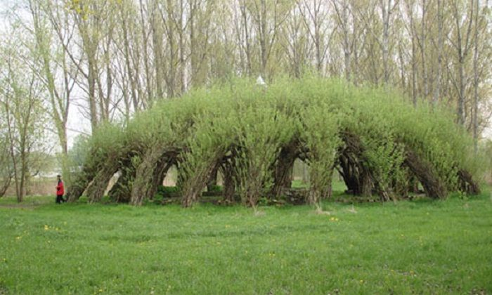 Living Willow Hedges: