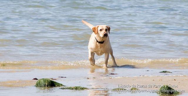 Listado de Razas de Perros y Gatos. Todos los tipos...: Raza de Perro Labrador Retriever (Cobrador de Labr...