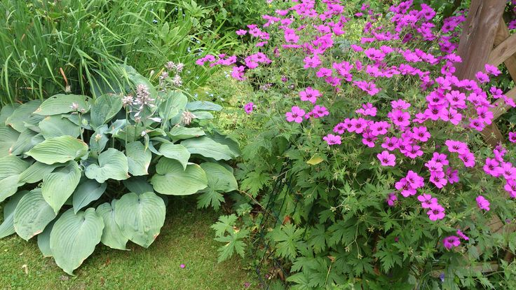 DSC_0468   Hosta, Geranium psilostemon   klaus nickel   Flickr