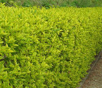 Golden Privet (Ligustrum ovalifolium Aureum).  Front yard to hide utility boxes.