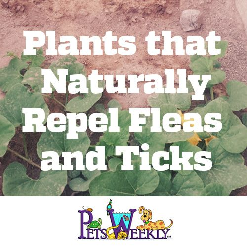 Plants that Naturally Repel Fleas and Ticks and are safe for pets